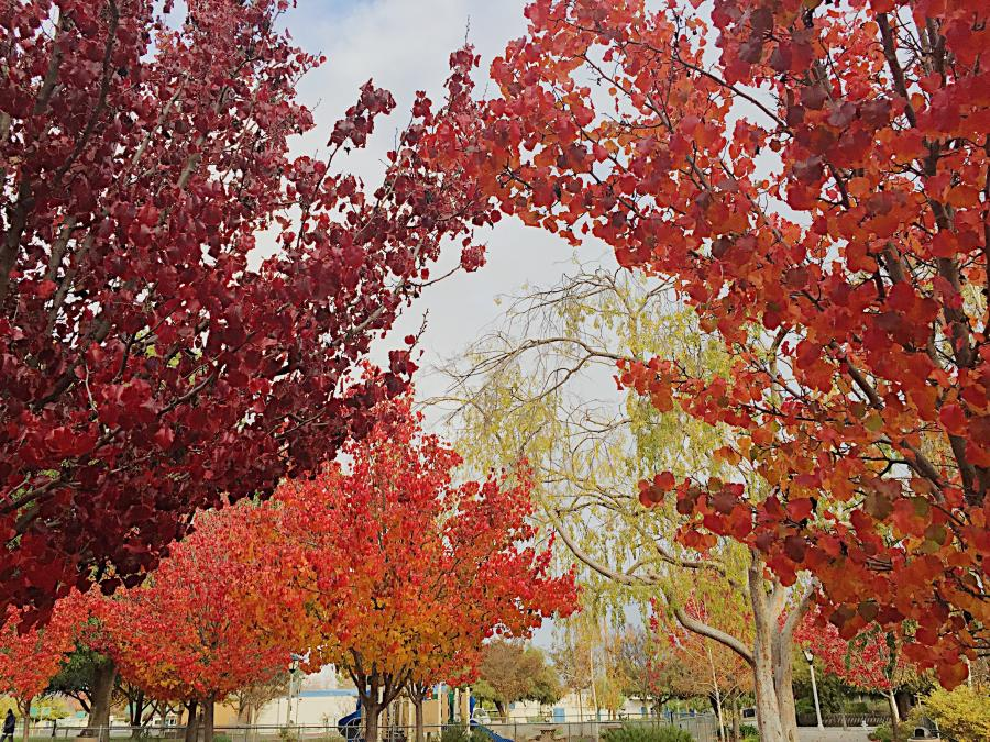 A photo of trees with leaves that have changed to red and yellow.